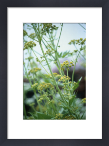 Levisticum officinale, Lovage by Carol Sharp