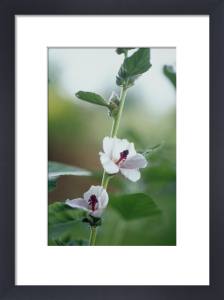 Althaea officinalis, Marsh Mallow by Carol Sharp