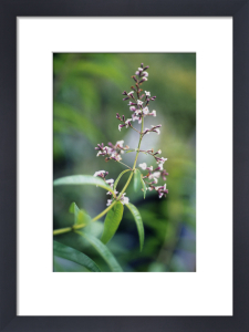 Aloysia triphylla, Lemon verbena by Carol Sharp