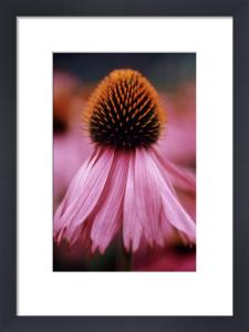 Echinacea purpurea 'Rubinstern' Purple coneflower by Carol Sharp