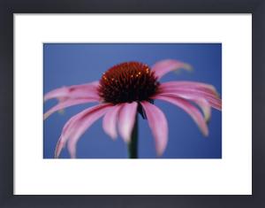 Echinacea purpurea, Purple coneflower by Carol Sharp