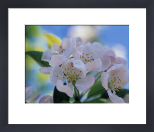 Malus domestica, Apple by Carol Sharp