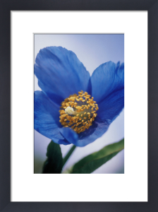 Meconopsis grandis, Himalayan blue poppy by Carol Sharp