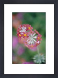 Candelabra Primrose by Carol Sharp
