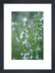 Satureia hortensis, Savory - Summer savory by Carol Sharp
