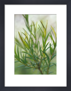 Melaleuca alternifolia, Tea tree by Carol Sharp