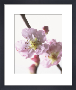 Prunus dulcis, Almond by Carol Sharp