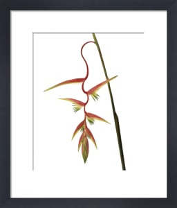 Heliconia, Heliconia by Carol Sharp