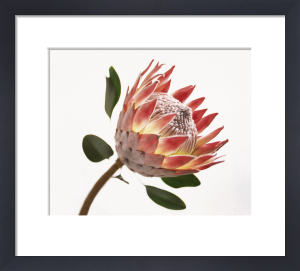 Protea cynaroides, King protea by Carol Sharp