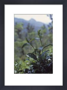 Camellia sinensis, Tea plant by Carol Sharp