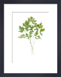 Petroselinum neapolitanum, Parsley - Flat leaf parsley by Carol Sharp