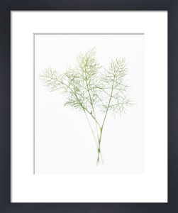 Anethum, Dill by Carol Sharp