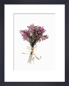 Erica, Winter heather, Spring heath, Bell heather by Carol Sharp