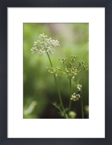 Coriandrum sativum, Coriander by Carol Sharp