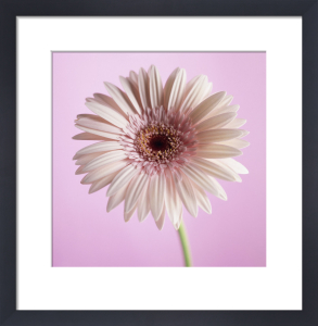 Gerbera, Gerbera by Carol Sharp