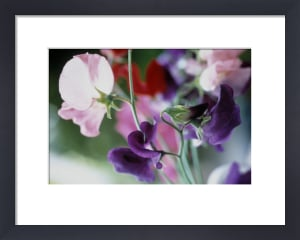 Lathyrus odoratus, Sweet pea by Carol Sharp