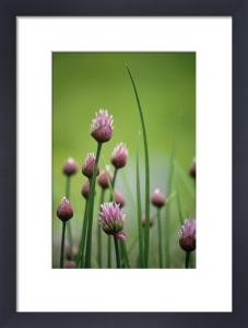 Allium schoenoprasum, Chive by Carol Sharp