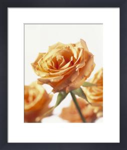 Rosa, Rose by Carol Sharp