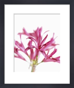Nerine bowdenii, Nerine by Carol Sharp
