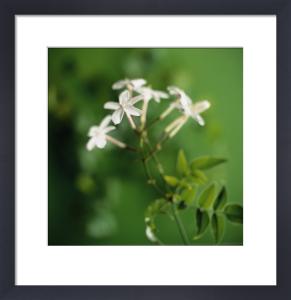 Jasminum polyanthum, Jasmine by Carol Sharp