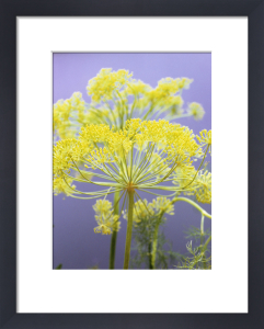 Anethum graveolens, Dill by Carol Sharp