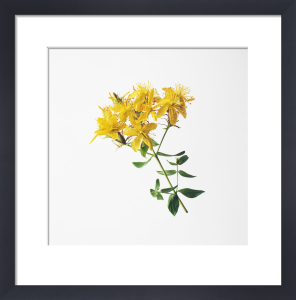Hypericum perforatum, St John's wort by Carol Sharp