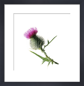 Cirsium vulgare, Thistle - Spear thistle, Scotch thistle, Bull thistle by Carol Sharp