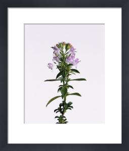 Satureia montana, Savory - Winter savory by Carol Sharp