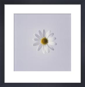Leucanthemum vulgare, Daisy, Marguerite by Carol Sharp
