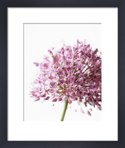 Allium aflatunense, Allium by Carol Sharp