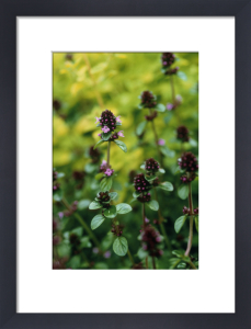 Origanum vulgare, Marjoram, Oregano by Carol Sharp