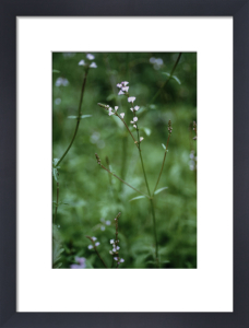 Verbena officinales, Vervain by Carol Sharp
