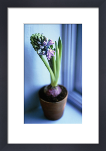 Hyacinthus, Hyacinth by Carol Sharp
