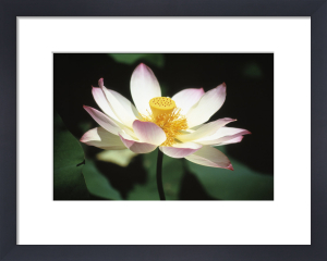 Nelumbo nucifera, Lotus - Sacred lotus by Carol Sharp