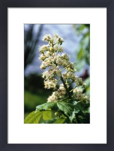 Aesculus hippocastanum, Horse chestnut by Carol Sharp