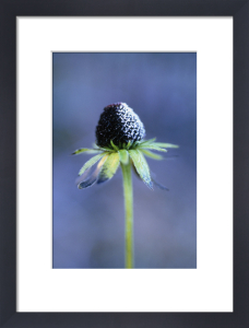 Rudbeckia, Coneflower black-eyed Susan by Carol Sharp