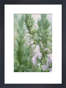 Rosmarinus officinalis, Rosemary by Carol Sharp