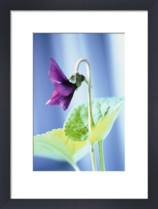 Viola odorata, Violet - Sweet violet by Carol Sharp