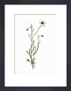 Chamaemelum nobile, Chamomile by Carol Sharp
