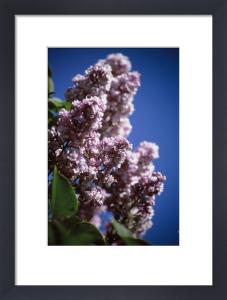 Syringa, Lilac by Carol Sharp