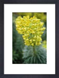 Euphorbia characias, Spurge by Carol Sharp