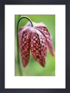 Fritillaria meleagris, Fritillary - Snake's head fritillary by Carol Sharp