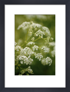 Myrrhis odorata, Sweet cicely by Carol Sharp