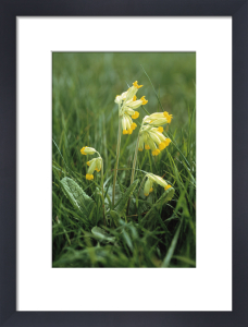 Primula veris, Cowslip by Carol Sharp