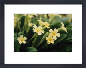 Primula vulgaris, Primrose by Carol Sharp