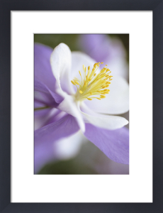 Aquilegia Columbine by Carol Sharp