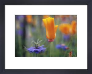 Eschscholzia californica, Poppy - Californian poppy by Carol Sharp