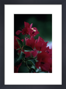 Bougainvillea, Bougainvillea by Carol Sharp