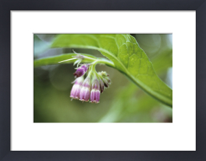 Symphytum officinale, Comfrey by Carol Sharp