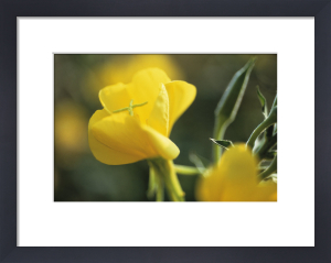 Oenothera biennis, Evening primrose by Carol Sharp